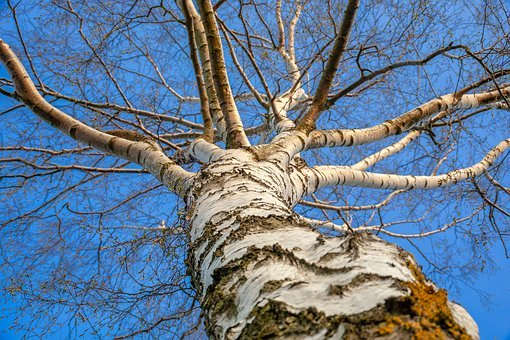 Betulla birch